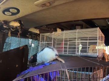 Imagen de las ratas en la furgoneta de una mujer en EEUU