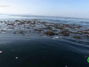 El alga asiática: la especie invasora que ataca la economía de Andalucía