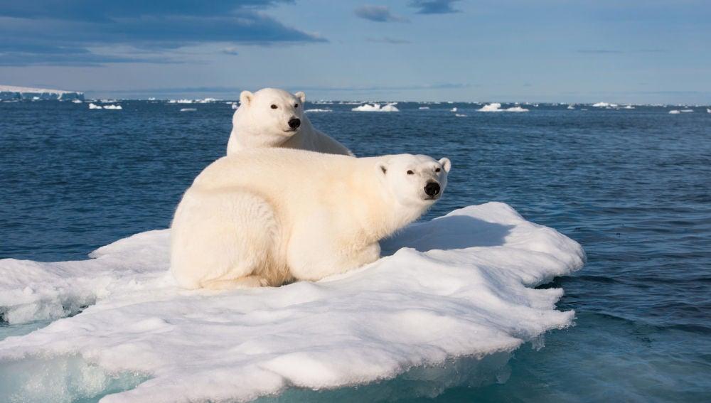 El oso polar ya está sufriendo el impacto medioambiental en su hábitat
