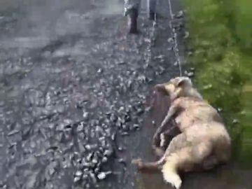 Muere Alma, la perra que fue apaleada y disparada por un cazador en Lugo