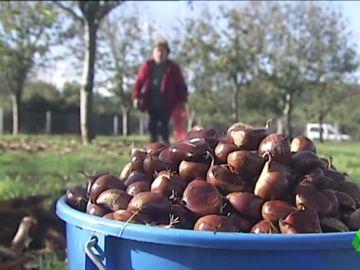 Imagen de recolección de castañas.