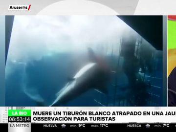 Muere desangrado un tiburón blanco atrapado en una jaula de observación para turistas