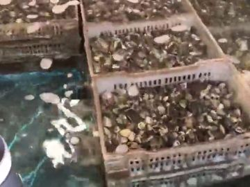 Incautan casi 40 toneladas de almejas contaminadas introducidas en España