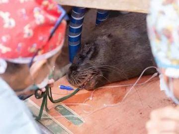 Liza, el león marino de la Patagonia, siendo intervenida de urgencia para recuperar la visión de su ojo izquierdo.