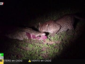 La impactante escena de un leopardo robándole la comida a un cocodrilo de sus propias mandíbulas