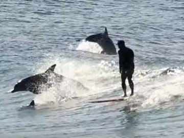 Surfista con varios delfines.