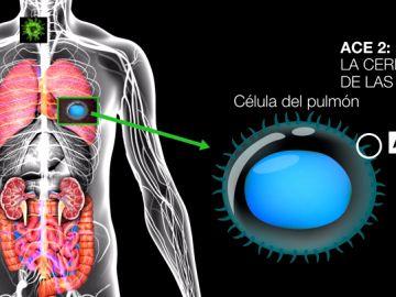 Así actúa el coronavirus en el interior del cuerpo humano: la explicación científica de la enfermedad