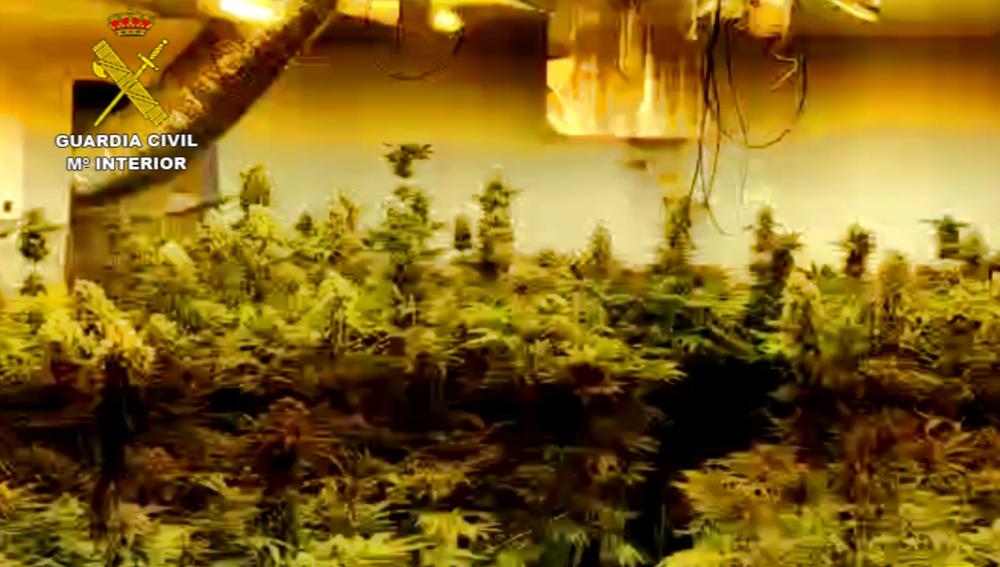 Plantación de Marihuana incautada en Almería.