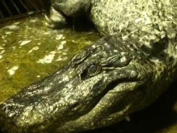 Imagen de 'Saturno', el cocodrilo que ha fallecido a los 84 años