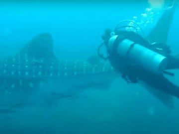 Rescate de un buzo a un tiburón ballena