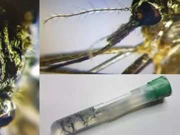 Imagen del mosquito 'Aedes japonicus'