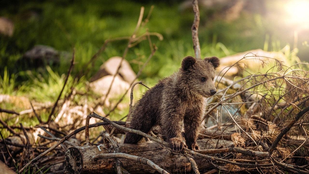 Imagen de archivo de una cría de oso