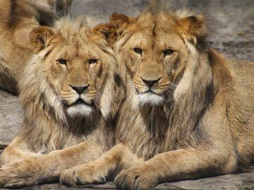 Dos leones en un zoológico