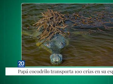 La increíble fotografía de un cocodrilo en peligro de extinción cruzando un río con sus 100 crías encima