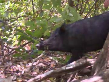 Las aventureras hacen piña para cazar un cerdo salvaje: así ha sido la exitosa matanza del animal