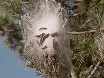 La diminuta pero dañina especie que provoca que los bosques de España se tiñan de marrón