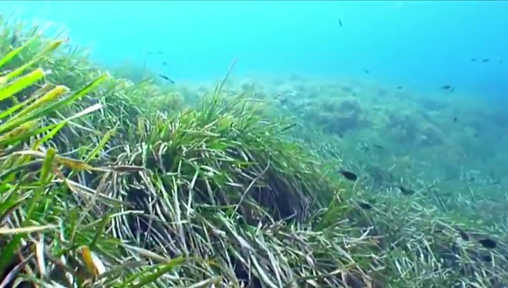 La posidonia, la gran alfombra sumergida que limpia nuestros mares de contaminación