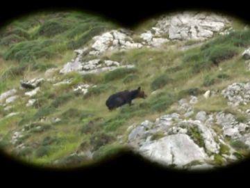 El oso pardo, la especie en peligro de extinción clave contra el cambio climático