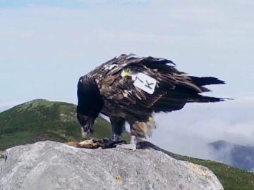 """El quebrantahuesos, un """"tesoro"""" de ave amenazada por el cambio climático"""