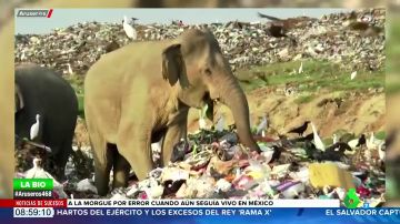 Las impactantes imágenes de decenas elefantes hambrientos buscando comida en un vertedero de Sri Lanka