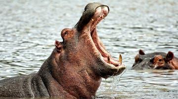 Imagen de archivo de un hipopótamo