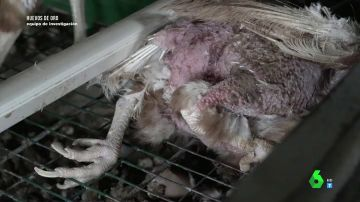 Las impactantes imágenes de las deplorables condiciones en las que viven gallinas enjauladas en una granja de Madrid