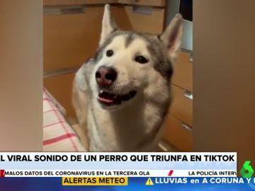 Iker, el perro que triunfa en Tik Tok por su forma tan peculiar de ladrar