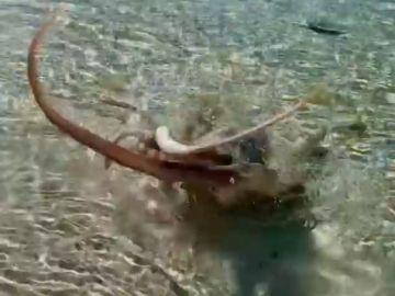 Un pulpo ataca a un hombre en una playa de Australia