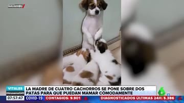 La tierna imagen de una perra amamantando a sus cachorros a dos patas