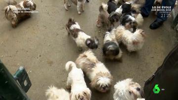 """Así funciona un criadero legal de perros en España: """"Nos llama muchísima gente con cantidad de estafas de todo tipo"""""""