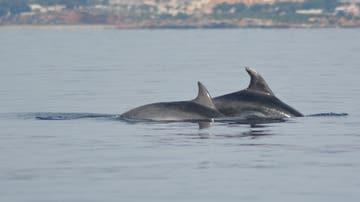 Liberados dos ejemplares de delfín mular de la almadraba de La Azohía, en Cartagena